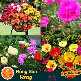 Hạt giống Hoa Mười Giờ Mỹ Nhiều Màu ( Gói 100 hạt ) - Nông Sản Vàng