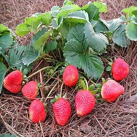 Combo 2 Gói Hạt giống Dâu tây đỏ F1 nảy mầm cao Titapha