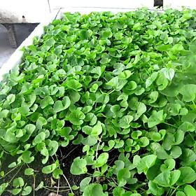 200 hạt giống rau má lá nhỏ