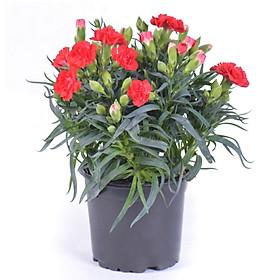 Hoa Cẩm Chướng Đỏ