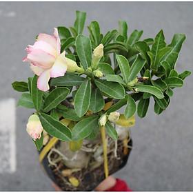 Cây sứ Thái gốc to đang có hoa và nụ ST4