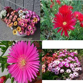 50 hạt giống hoa mười giờ châu phi