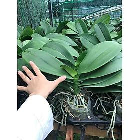 Cây Lan Hồ Điệp khủng cốc 3.5 giống Đài Loan hoa to dài và cực bền - Nữ hoàng của các loại hoa - giao cây đã cắt cành