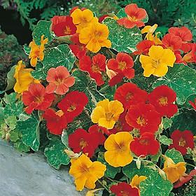 02 gói Hạt giống hoa Sen Cạn Italy VTP76