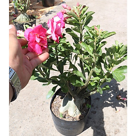 Cây sứ Thái gốc to đang có hoa và nụ ST18