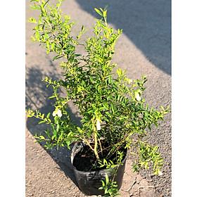 Cây lựu Thái ăn trái hoa màu trắng