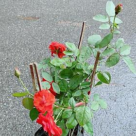 Hoa Hồng Lửa Màu Đỏ