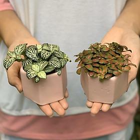 Bộ 2 Cây Mini Để Bàn - 6x6x8 Cm - Cây Cẩm Nhung ( Fittonia, May Mắn) & Chậu Trồng Cây Gốm Sứ Bát Tràng - Dáng Lục Giác Hồng - Lá Xanh & Đỏ
