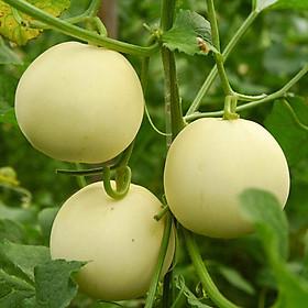 10 hạt giống trái Dưa Lê
