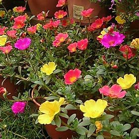 02 gói Hạt giống hoa Mười giờ Mix - nhiều màu Italy VTP81