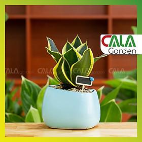 Cây lưỡi hổ trồng chậu asa xanh nhạt (tặng kèm bảng đen trang trí)