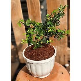 Chậu cây Cần Thân bonsai