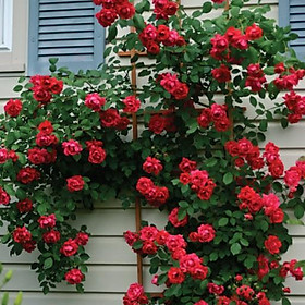 Cây giống hoa hồng leo bầu đất ổn định