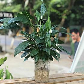 Combo 5 cây Lan Ý - Cây mini để bàn- Dài 12 x Rộng 12 x Cao 50 cm
