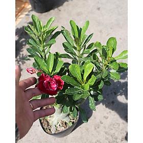 Cây sứ Thái gốc to đang có hoa và nụ ST12