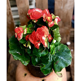 Chậu hoa thu hải đường maù hồng đậm Borias Dark