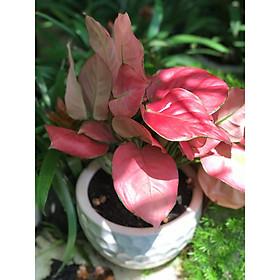 Cây phú quý lá đỏ chậu trắng để bàn