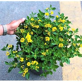 Chậu hoa ngũ sắc hoa vàng gốc to tán rộng