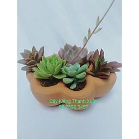 Chậu trồng cây sen đá xương rồng mini, chậu đất nung hình tay gấu , Kích thước Rộng 14 x Cao 4,5 cm