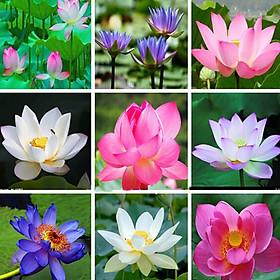 Hạt Giống Sen Nhật Mini (10 Hạt / Gói) - Hoa Nhiều Màu Sắc