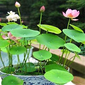 2 Gói Hạt Giống Hoa Sen Nhật Mini Hồng