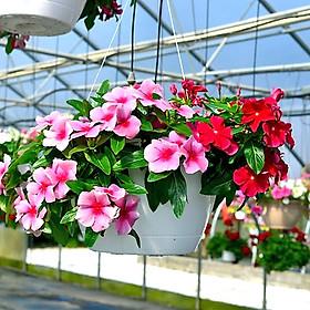 Hạt giống hoa dừa cạn rủ xuất xứ Đức tỷ lệ nảy mầm cao hoa cực đẹp