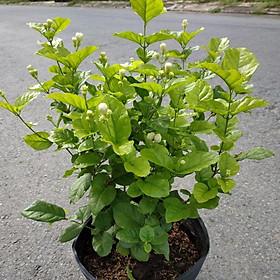 Cây Hoa Lài Ta cánh kép hay Lài trà (đang hoa)