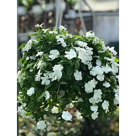 Cây dừa cạn chậu treo hoa trắng