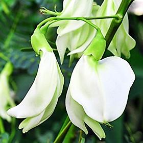 Hạt giống so đũa RADO 102 (2g/gói)   Bông màu Trắng và nhiều bông   Điền thanh hoa lớn   Sesbania grandiflora Pers