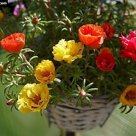 Hoa Mười Giờ Nhiều Màu