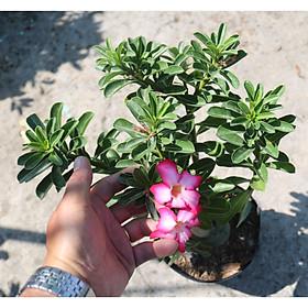 Cây sứ Ánh Dương hoa màu hồng