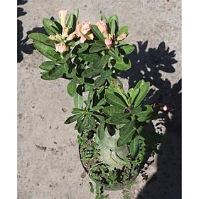 Cây sứ Thái gốc to đang có hoa và nụ ST20