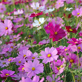 02 gói Hạt giống hoa sao nhái mix - hoa cúc sao nhái nhiều màu - hoa chuồn chuồn nhiều màu VTP86