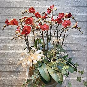 Chậu hoa Lan Hồ Điệp Đà Lạt - Mẫu 32 - Đường kính chậu 25 x cao 50 cm - Mầu Đỏ - Chậu hoa, cây cảnh tặng khai trương, tân gia