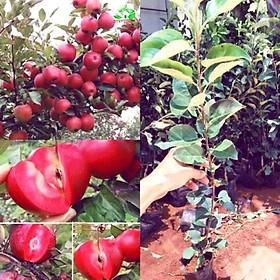 Cây táo đỏ cao 80cm - 1m có quả sau 6 tháng