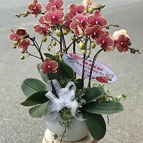 Chậu hoa Lan Hồ Điệp Đà Lạt - Mẫu 47 - Đường kính chậu 25 x cao 55 cm - Mầu Đỏ - Chậu hoa, cây cảnh tặng khai trương, tân gia