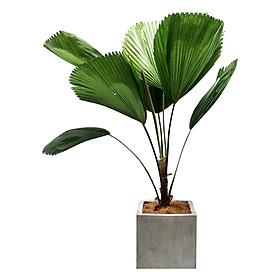 Cây Cọ Nhật ,Chậu Xi Măng  Vuông (25 x 25 x 25 cm)