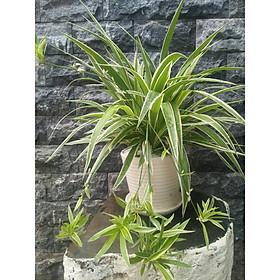 Cây cỏ nhện