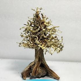 Lũa bonsai cây thông noel trang trí bể cá thuỷ sinh