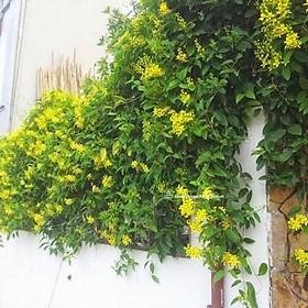 Cây hoa mai hoàng yến thân leo hoa vàng nở hoa quanh năm (ảnh thật số 2)