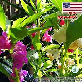 500.HẠT Hạt Giống Hoa Móng Tay Lùn 30cm Mix (| B6*V42)