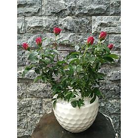Hoa hồng đỏ chậu trắng vườn xanh