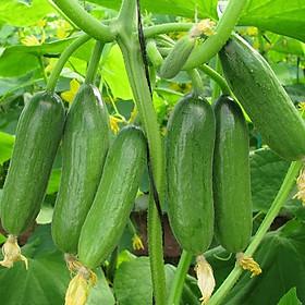 Hạt giống Dưa chuột Baby F1 nảy mầm cao Titapha