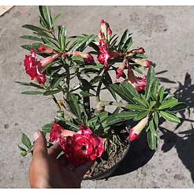 Cây sứ Thái gốc to đang có hoa và nụ ST10