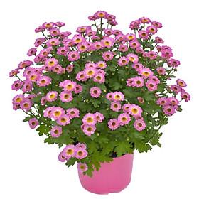 Hoa Cúc Hồng Mẫu 1