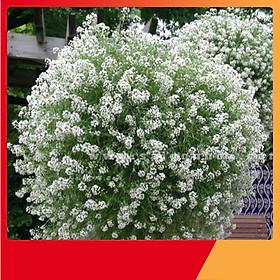 Hạt Giống Hoa Hương Tuyết Cầu ( Ngàn Sao Mix ) - Nảy Mầm Cực Chuẩn