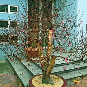 Cây hoa Đào Tết mẫu số 004