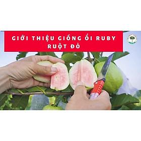 CÂY GIỐNG ỔI RUBY THÁI