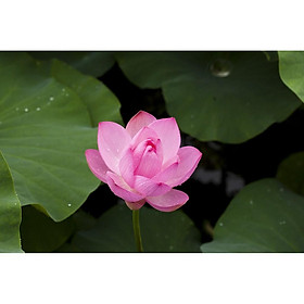 Gói 10 hạt giống sen ta - Sen Hồng Việt Nam - Vietnamese Lotus