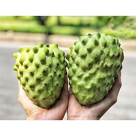 Cây giống Na Đài Loan cho quả to, thịt dai, hương vị thơm ngọt mềm